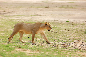 Lioness (Panthera leo) is walking it the savanna and looking for the rest of the lion pride