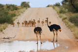 The ostrich or common ostrich (Struthio camelus) in the desert. - 212787711