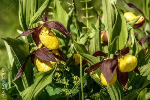 orchid venus slipper flower yellow