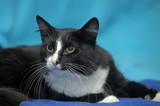 Black and white cat on a blue background. - 212789712