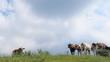 Vaches dans les Alpes fribourgeoises