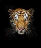 Tiger head on black