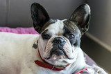 french bulldog is looking - 212793540
