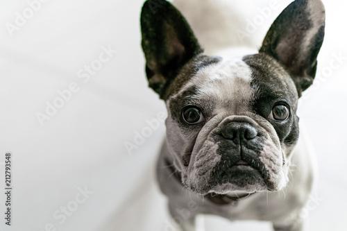 Foto Spatwand Franse bulldog french bulldog is looking