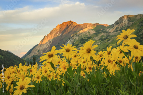 Fotobehang Honing Colorful wildflowers in the Wasatch Mountains, Alta, Utah, USA.