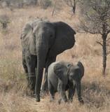 African Elephants - 212796159