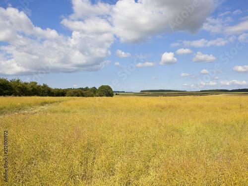 Fotobehang Honing ripe oilseed rape crop