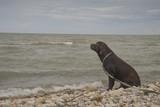 Labrador looks at the sea - 212804385