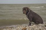 Labrador looks at the sea - 212804526