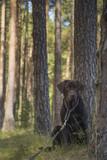 brown labrador puppy - 212810523