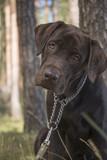 brown labrador puppy - 212810921