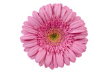 Gerbera Daisy Top view of flower with subtle pink tone