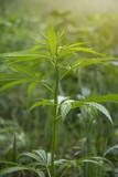 fields of industrial hemp in Estonia - 212812143