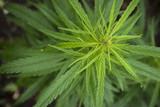 fields of industrial hemp in Estonia - 212812377