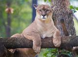 Cougar zwierzę relaks na drzewie