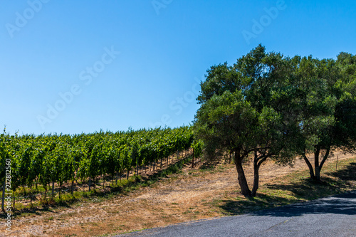 Fotobehang Wijngaard Two trees run along a small road. The trees separate a vineyard. The road and vineyard are going up hill. The sky is blue