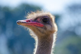 the funny ostrich - 212816126