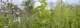 weeds - nettle, thistle, wormwood on a field close up - 212820161
