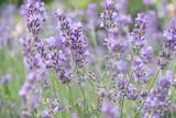 Lavender flowers at sunlight - 212820389