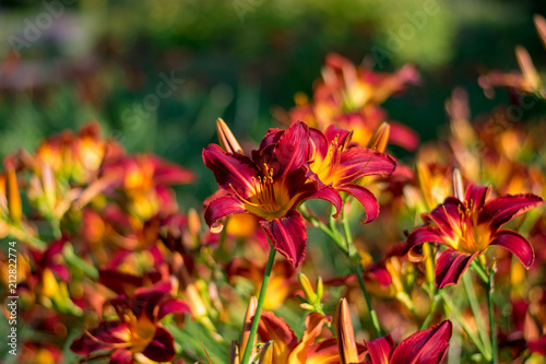 Red and yellow lillies