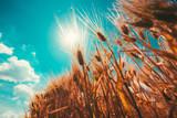 Sun shining through barley crop ears - 212825925