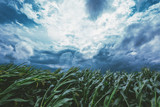 Strong wind blowing in the corn field - 212826365