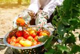 Organic tomato harvest - 212826366