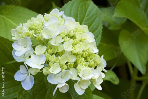 美しいアジサイの花