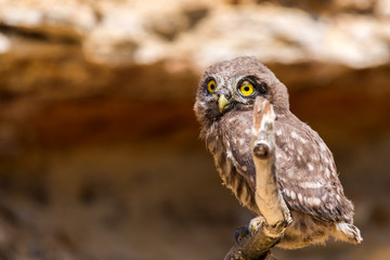 Little owl or Athene noctua on wooden branch