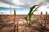 Drought in a cornfield - 212840924