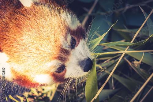 Plexiglas Panda Close up image of a Red Panda (Ailurus fulgens) with copy space