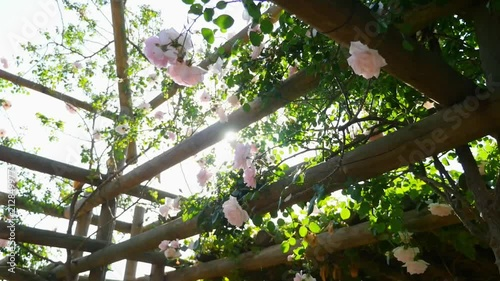 walking under a flower canopy of white roses with sun flares