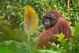 Orangutan (orang-utan) in his natural environment in the rainforest on Borneo (Kalimantan) island with trees and palms behind. - 212854756