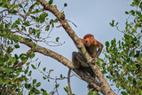 Proboscis monkey (Nasalis larvatus) - long-nosed monkey (dutch monkey) in his natural environment in the rainforest on Borneo (Kalimantan) island with trees and palms behind - 212855354