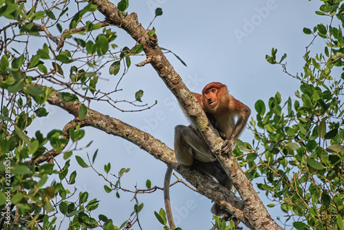 Foto Murales Proboscis monkey (Nasalis larvatus) - long-nosed monkey (dutch monkey) in his natural environment in the rainforest on Borneo (Kalimantan) island with trees and palms behind