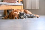 British short hair cat and golden retriever - 212861373