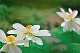 夏の花 ハス - 212863153