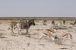 Cebras e Impalas peleando, Namibia (África)