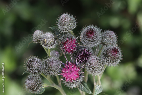 Kletten (Arctium) Pflanze mit Blüten