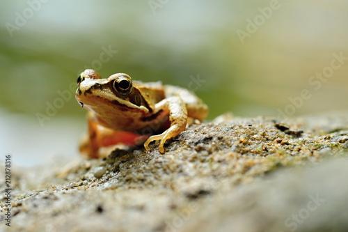 Fotobehang Kikker Small brown frog
