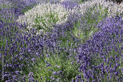 Fotobehang Lavendel Lavandes bleues et blanches