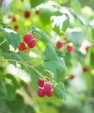 Raspberry bush in a garden - 212889795