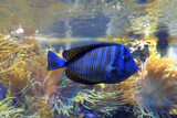Blue tropical fish. - 212889928