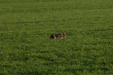 Hase in Gras