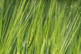 Blossoming of barley. - 212902177