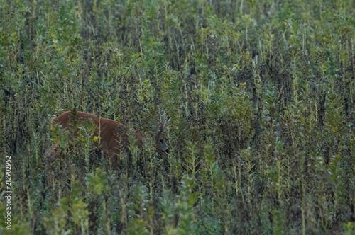 Plexiglas Khaki Rehbock im Herbst