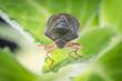 The bug the green tree shield Palomena prasina sits on the leaf