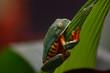 Golden eyed leaf frog