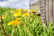 Car standing on the roadside overgrown by blossoming dandelions - 212910139