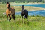 Black and Bay Horses on a Pasture